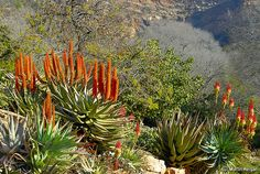 Aloe ferox (The Cape Aloe, Bitteraalwyn or Karoo-aalwyn) flowers (Left) and Aloe arborescens (The Krantz Aloe or Kransaalwyn) flowers (Right), South Africa, Winter, July 2006.
