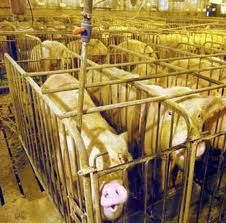 A pig's life...their forever life...never being able to turn around, lie down or breathe or see fresh air...