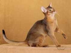 on of my favorite kinds of cats, Merlyn is part Abyssinian