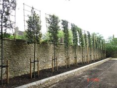 Pleaching begins on a Quercus ilex evergreen Oak Instant Hedges Suppliers and Growers of SemiMature and Mature Trees Shrubs and Instant Hedge Garden Privacy, Garden Shrubs, Back Gardens, Outdoor Gardens, Landscape Design, Garden Design, Garden Screening, Screening Ideas, Bamboo Screening