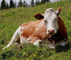 What cow has the best milk? Raw Milk, Fresh Milk, No Dairy Recipes, Real Food Recipes, Real Foods, Cow Wallpaper, Wallpaper Desktop, Wallpapers, Paraguay Food
