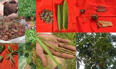 Medicinal Rice based Tribal Medicines for Diabetes Complications and Metabolic Disorders (TH Group-607) from Pankaj Oudhia's Medicinal Plant Database