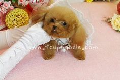 toy poodle,teacup poodle,tiny toy poodle,pedigree poodle,poodle for sale,poodle breeder,beautiful poodle puppy,the smallest dog  --------------------------------------------  JiaQiao (Youlong Breeding Center)  Teacup Toy Poodle puppy for Sale International Delivery Available  Website : http://52993344.com/en  Line ID : teddymommy75 Whatsapp : +886975785398 QQ: 603042543