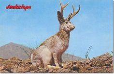 """JACKALOPE or ANTELABBIT """"WILD JACKALOPE Also often called the Antelabbit, this, the most amazing of all desert animals is reputed to be a cross between a Jack Rabbit and an Antelope. Rumor has it that the Jackalope sings at night in a voice that. John Tenniel, Desert Animals, Wild Animals, Cryptozoology, Parcs, Mythical Creatures, Mythological Creatures, Animal Photography, Photos"""