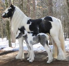 already so pretty wait until I grow up - wunderschöne pferde -I'm already so pretty wait until I grow up - wunderschöne pferde - Horse and Man - Exploring the bond between equines and their people. Baby Horses, Cute Horses, Draft Horses, Pretty Horses, Horse Love, Beautiful Horses, Animals Beautiful, Breyer Horses, Clydesdale Horses