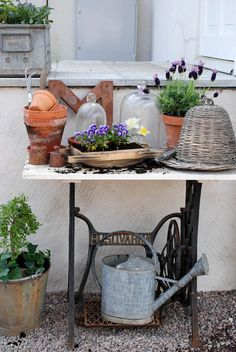 Vita Ranunkler: Planteringsbord