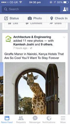 Meet giraffes