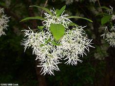 Fringetree (Chionanthus virginicus) Fringe Tree, White Trees, Tree Shapes, Small Trees, Trees And Shrubs, Outdoor Ideas, Beautiful Gardens, Montana, Virginia
