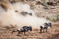 Manche Gnus brechen sich beim Sturz aus großer Höhe das Genick. Das sind aber eher Ausnahmen. Die meisten Tiere durchqueren sicher den Mara River in der Masai Mara in Kenia.  More Pics: www.ingogerlach.com