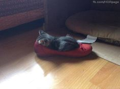 Kitten Rests In Shoe