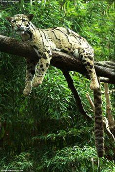 clouded leopard!  love those spots!