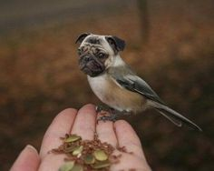 Pug-Bird.jpg