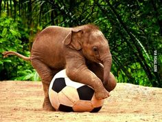Just a baby elephant playing with a soccer ball. So so cute!!