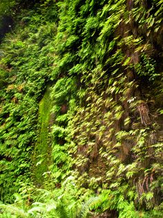 the hike to the beach in crescent city, ca, fern lined walls of the canyon. @zefr after you mentioned ferns th...