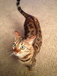 """What are you doing?'' bengal #cat"