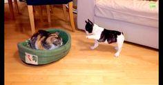 Les chiots ne pensent qu'à s'amuser, n'est-ce pas ?  Dans ce cas, pourquoi ne pas en profiter lorsque le chat vous vole votre lit ou l'emprunte simplement pour un moment ?  J'adore l'expression du chat tout le …