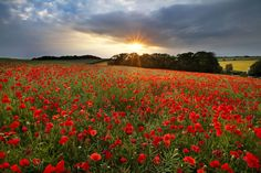 22 Stunning Photos of Poppies in Full Bloom That Honor Their True Meaning Wild Flower Meadow, Wild Flowers, Poppy Flower Symbolism, Flower Window, Red Poppies, Sunflowers, Landscape Photographers, Wonderful Places, Need To Know