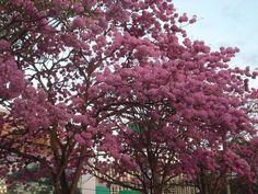Ipês-Av. Campo Grande, Primavera do Leste, cidade das flores, dos amigos e dos amores! A cada dia nasce vida nova, colorida. Mato Grosso