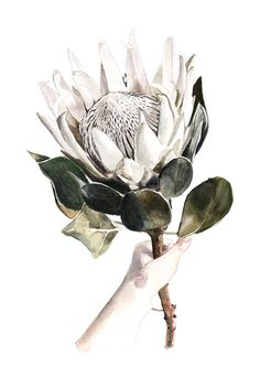 Colors for tattoo. Botanical Illustration, Botanical Prints, Illustration Art, South African Flowers, Protea Flower, Watercolor Paintings, Watercolour, South African Artists, White Art
