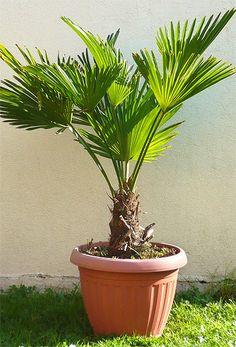 die besten 25 hanfpalme ideen auf pinterest palmen garten palmen pflanzen und yucca palme. Black Bedroom Furniture Sets. Home Design Ideas