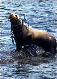 Fishing nets cause 60 percent of marine animal strangulations, but litter hurts, too.