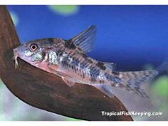 ... about keeping and caring for danio fish in aquariums aquariumfish net