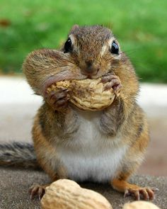 ~~Overstuffed ~ Chipmunk by Lori Deiter~~