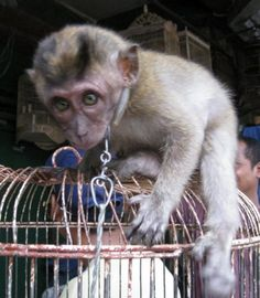 Cute and Frightened Poor Baby Macaque Monkey - STOP THE ANIMAL ABUSE!