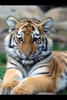 tiger lounging around