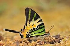 swordtail butterfly - Google Search