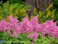 астильба цветокк