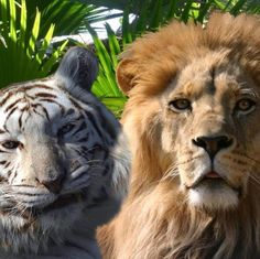 White tiger and lion from Big Cat Rescue in Tampa, FL
