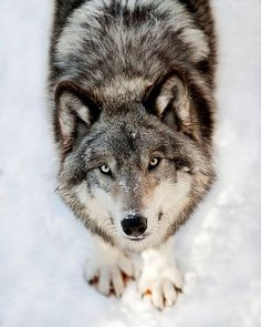 So adorable <3 They truly have hearts of gold and would never harm anyone...ever. Please do NOT listen to the twisted lies of those that want to hunt and MURDER them just for their fur