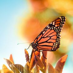 Butterfly / Nature / Macro (by ►CubaGallery) Fotografia Macro, Butterfly Pictures, Butterfly Kisses, Monarch Butterfly, Butterfly Tree, Butterfly Shape, Beautiful Butterflies, Summer Colors, Mother Nature