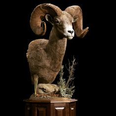 #bighorn sheep shoulder mount taxidermy by Animal Artistry