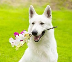 Male German Shepherd names hand picked with your  beautiful boy in mind. Find some names from Germany and other ideas that will make your pal stand out from the pack.