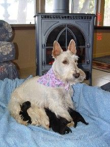 Scottish Terriers For Sale | Scottish Terrier Breeder                                                                                                                                                                                 More