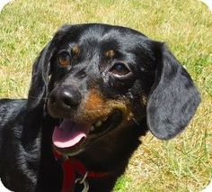 Salem, OR - Dachshund. Meet Trudy, a dog for adoption. http://www.adoptapet.com/pet/10968542-salem-oregon-dachshundI'm a shy yet charming canine who is searching for kind owners with relaxed a lifestyle and enough patience to guide me and help me come out of my shell. I'll need exercise on a daily basis to be on my best behavior. I love to go for walks around the neighborhood.