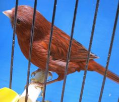 Canary Tales: Florida Canary Fanciers Part 5 New Color Division Judged by Jerry Zak. Red Cobalt