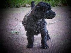 Standard Poodle pup!