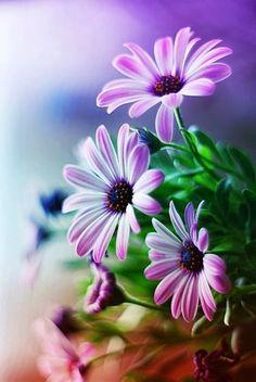Osteospermum ~ African Daisy -my perfect flower