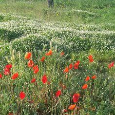 #prato di #primavera con #papaveri #rossi #fiori vari e #erba #verde #spring #field With #flowers #red And #green #grass #rimini by cpinaro
