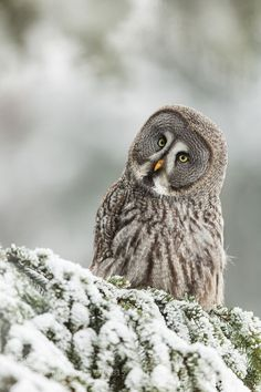 Owl Pictures, Great Pictures, Strix Nebulosa, Fly Around The World, Great Grey Owl, Winter Cabin, Magical Forest, Winter Beauty, Wildlife Nature