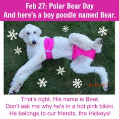 PHOTO OF THE DAY. Feb 27: Polar Bear Day. Bear with me (ahem). In honor of Polar Bear Day, here is Bear, the boy poodle. His hot pink bikini is a mystery to me! This isn't our photo, but see lots of ours at www.PawPrintsLife.com!