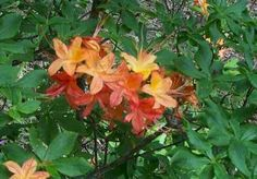 R. calendulaceum ( Flame Azalea )