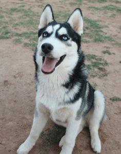 Huskies are so cute!