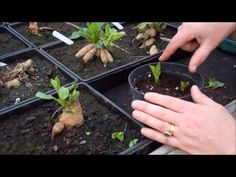 How to take dahlia cuttings - YouTube    But if I take a sliver the eye will be gone and it will cause branching on the tuber, won't it?