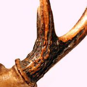 Many deer antlers are too curved to be used as-is for knife handles, but you can straighten them so that they can accept the tang of a blade. Once you've straightened an antler, you can prepare and attach it to a knife blade without needing adhesives. Deer Antler Crafts, Antler Art, Antler Jewelry, Antler Ring, Painted Deer Antlers, Painted Skulls, Moose Antlers, Antler Knife Handle, Deer Antler Chandelier