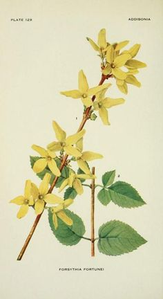 Forsythia Fortunei (Fortune's Golden Bell). Plate from 'Addisonia' Published 1916 by New York Botanical Garden archive.org
