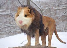 Mashup porquinho-da-índia + leão = chimera